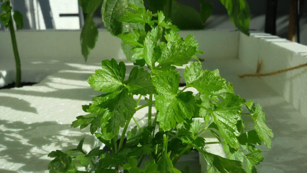 Petersilie hydroponisch: glänzend grün