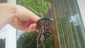 So sehen die Wurzeln nach einer Woche Aeroponik nach dem Verpflanzen aus Erdekultur aus